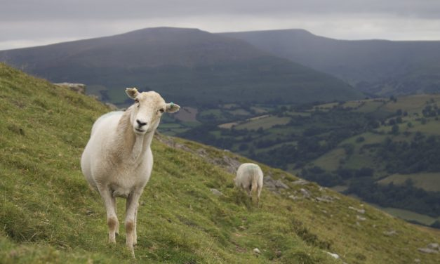 Nato Walesissa: susia vai lampaita?