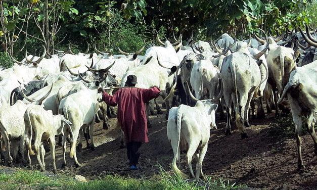 Kiista vapaista lehmistä repii Nigeriaa